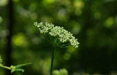 Dang Gui- Angelica sinensis