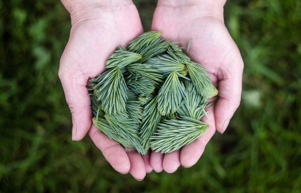 הטיפול בסוכרת עם צמחי מרפא סיניים על רקע רפואת הצמחים המדעית